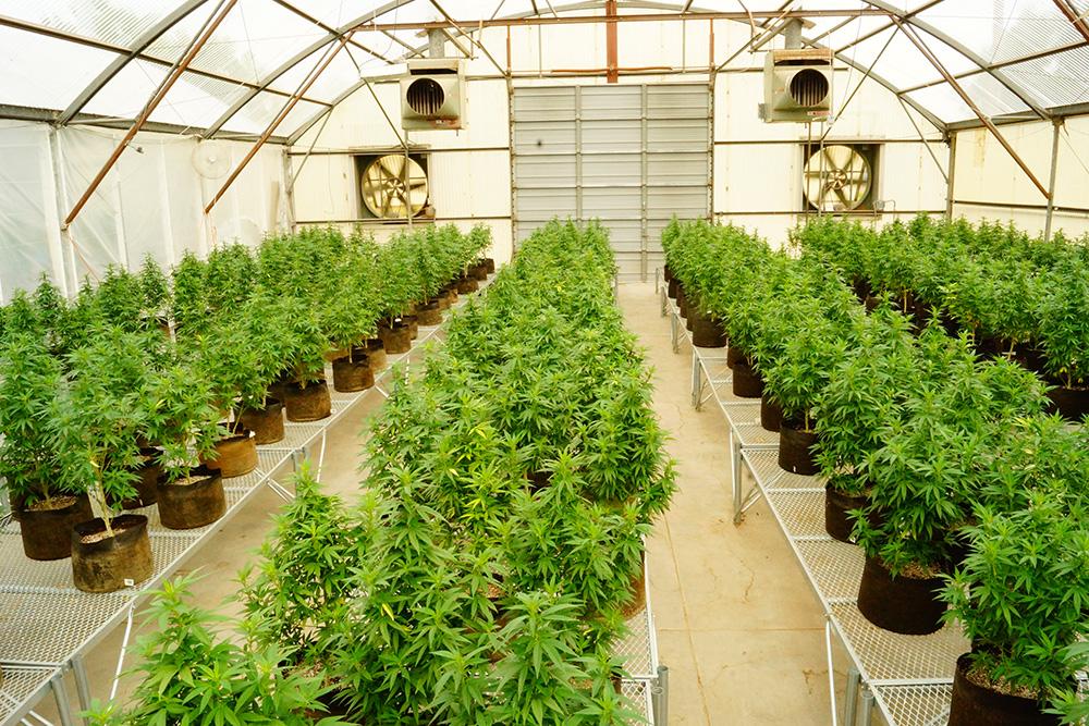 """大麻合法化是自由党帅哥总理特鲁多竞选时就承诺一定要执行的""""国策""""。"""